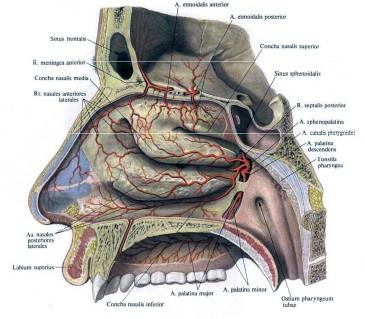 строение носа внутри