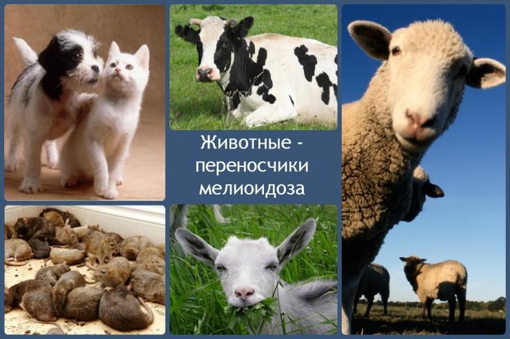 Животные - переносчики мелиоидоза