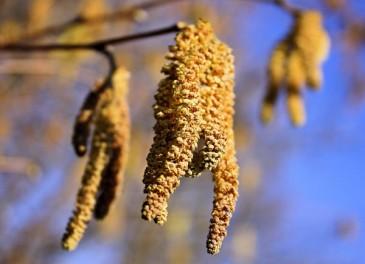Поллинозы или аллергия на пыльцу