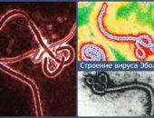 строение вируса эбола