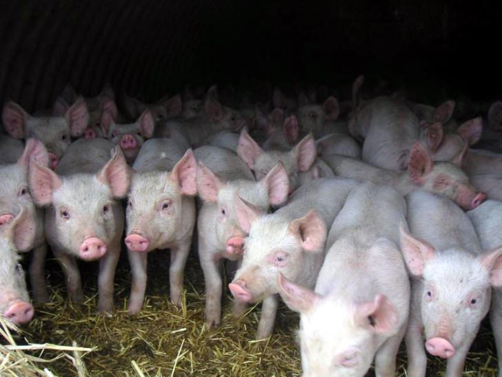 Трансгенные свиньи