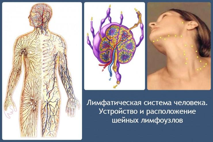 Лимфатическая система человека. Устройство и расположение шейных лимфоузлов