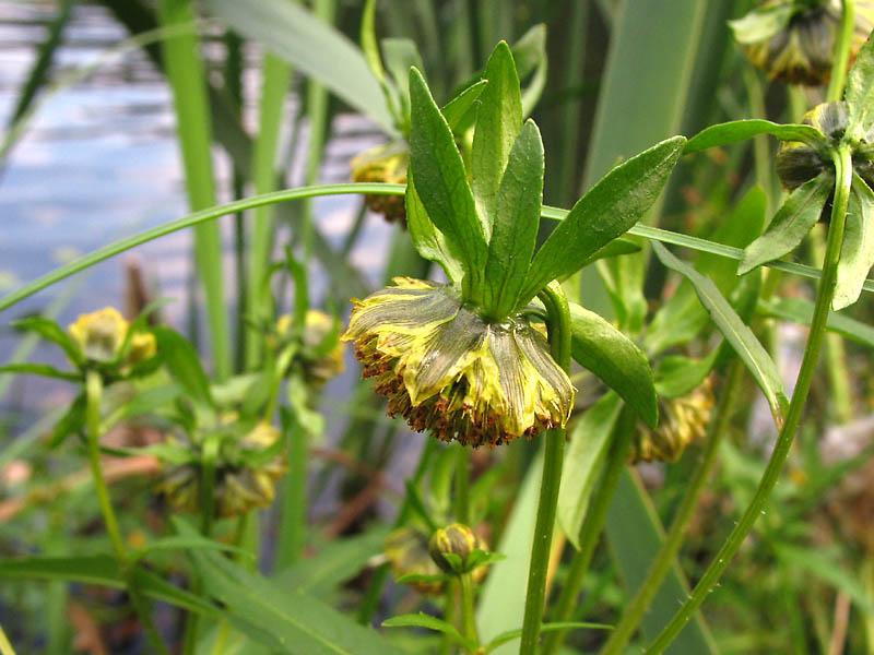 трава череды от аллергии