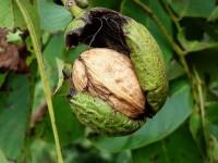 Околоплодник грецкого ореха