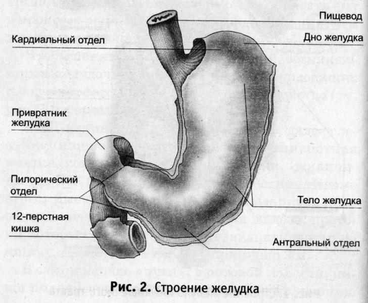 Схема строения желудка