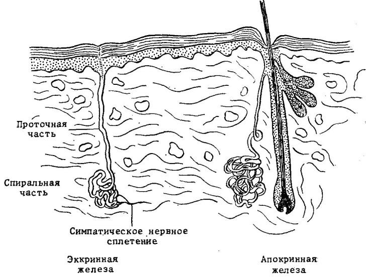Схематичное изображение апокриновых желёз