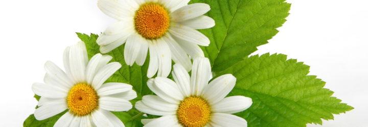 Лечебные свойства ромашки, от каких заболеваний применяются цветки ромашки