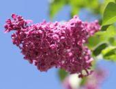 Лечебные свойства сирени, применение цветков сирени в медицине