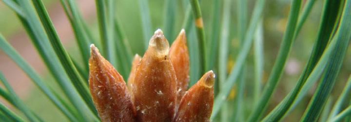 Лечебные свойства сосновых почек, применение сосновых почек в народной медицине