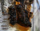 Лечебные свойства чаги, применение гриба чага в медицине