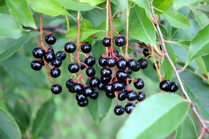 Плоды черёмухи