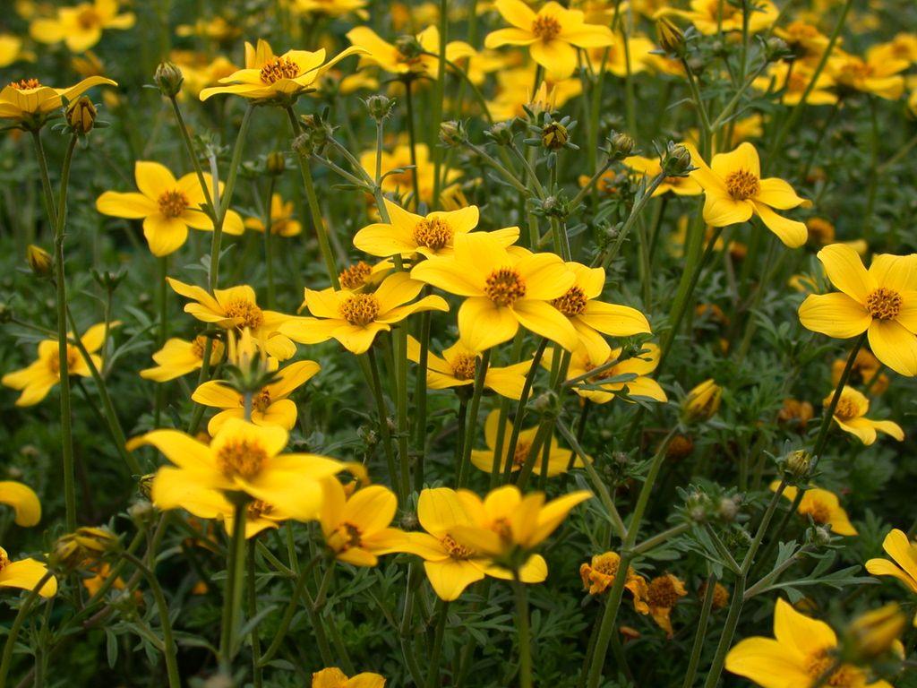 Поможет ли череда от аллергии: мнение врача и возможные рецепты