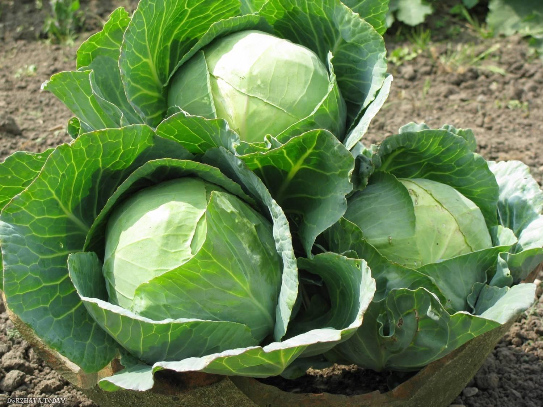 Можно ли кушать квашеную капусту при гастрите