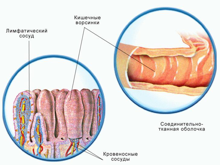 Ворсинки кишечника