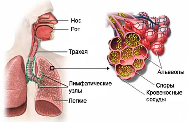 Путь передачи гистоплазм