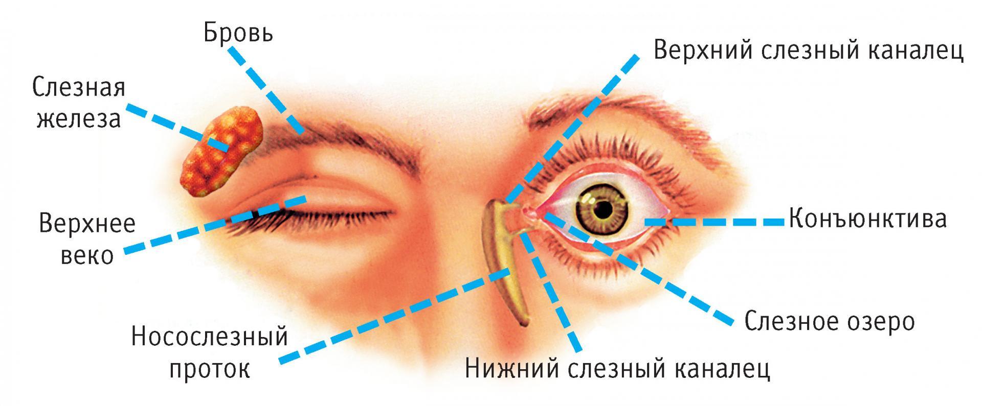 конъюнктивальный мешок глаза на картинке нужны фото брюнеток