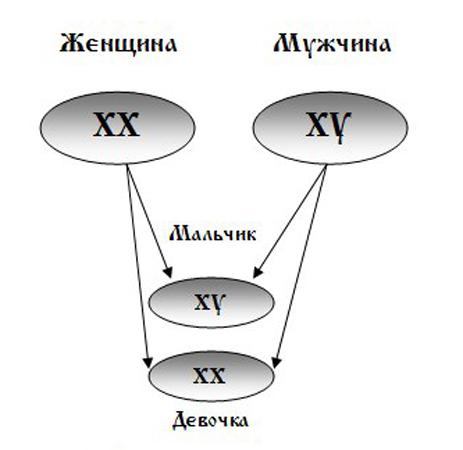 Набор хромосом у мужчин и женщин