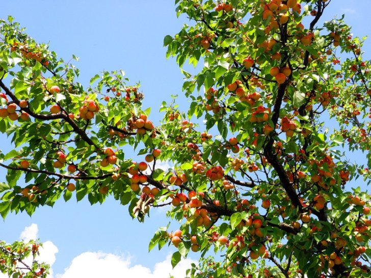 Абрикосовое дерево
