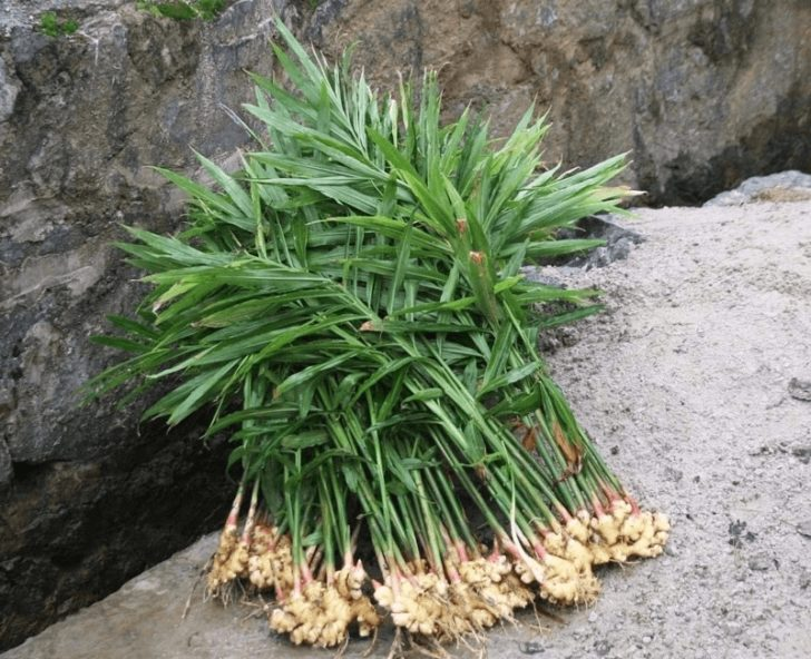 Имбирь — декоративное и лекарственное растение