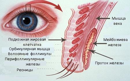 Строение мейбомиевой железы