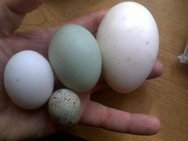 Размеры яиц