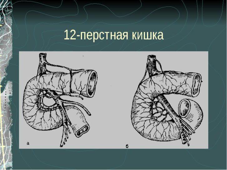 12 перстная кишка фото где находится