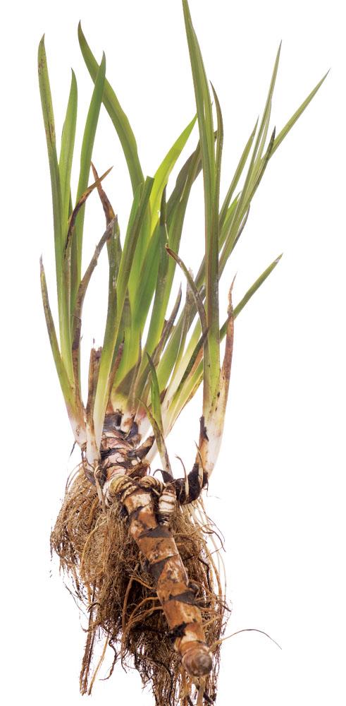 корень алтея от паразитов рецепт