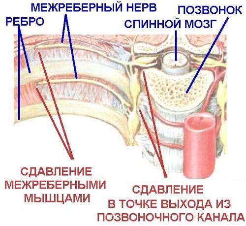 Строение позвоночника, рёбер, межрёберных нервов