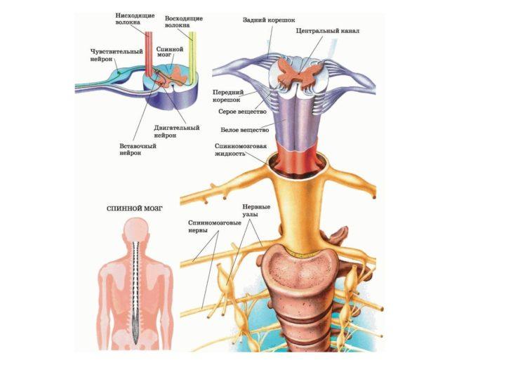 Строение спинномозгового канала