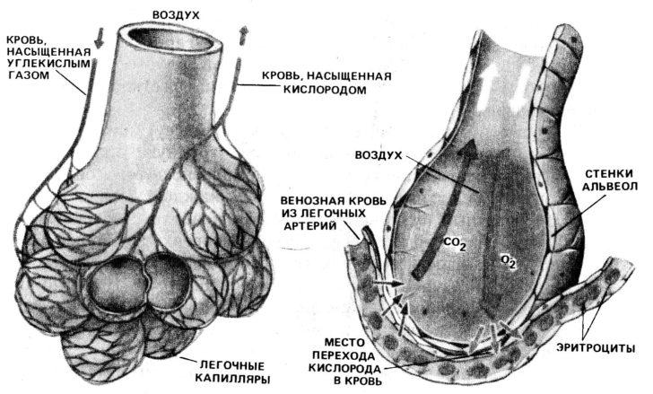 Анатомия ацинуса лёгкого