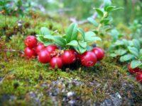 Кустик брусники в лесу