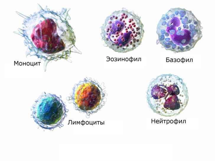Клетки белой крови