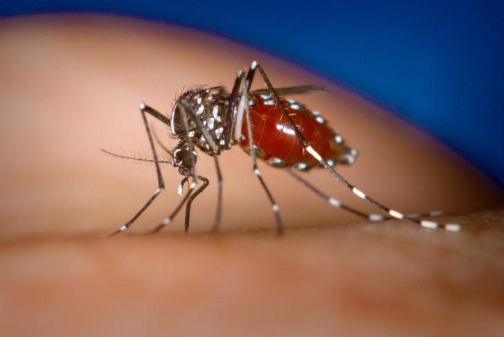 Жёлтолихорадочный комар