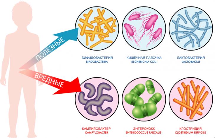 Полезная и вредная микрофлора кишечника