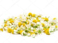 Цветки ромашки аптечной