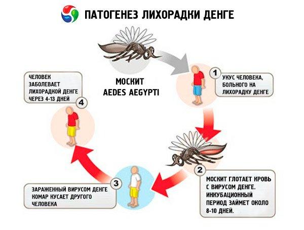 Схема заражения лихорадкой Денге