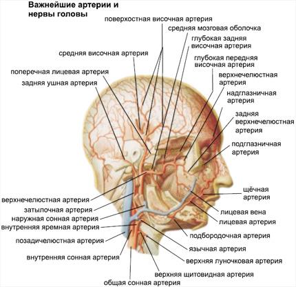Схема кровоснабжения головы и шеи