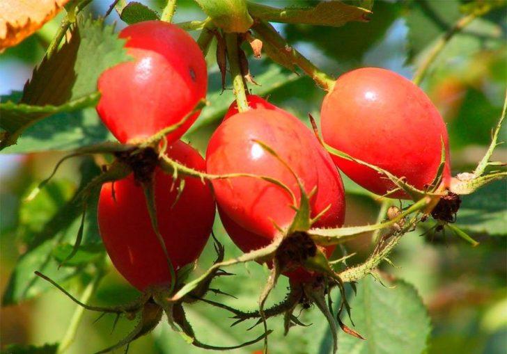 Крупные плоды шиповника на кусте