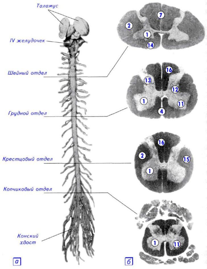 Строение спинного мозга на разных уровнях