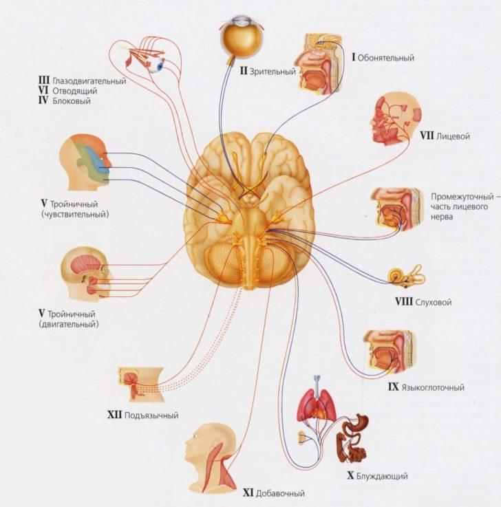 Строение и функции черепно-мозговых нервов