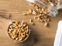 Проросшие зёрна пшеницы