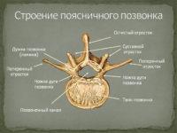 Анатомия позвонка