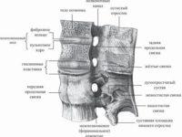 Схема анатомического сочленения двух соседних позвонков