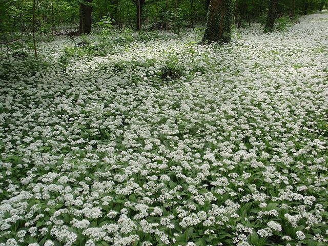 Лесная поляна с цветущей черемшой