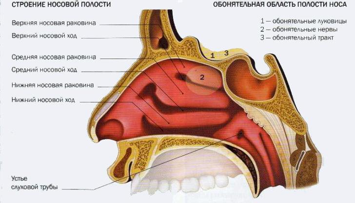 Строение носовой полости в разрезе