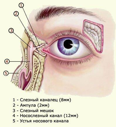 Строение слёзных органов