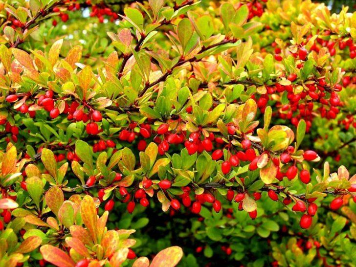 Ветки с ягодами барбариса