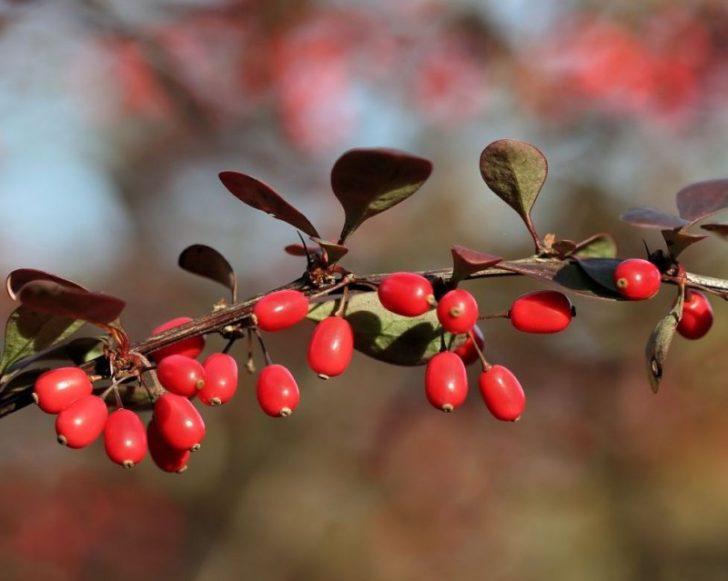 Веточка со спелыми барбарисовыми ягодами