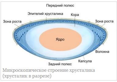 Микроскопическое строение хрусталика