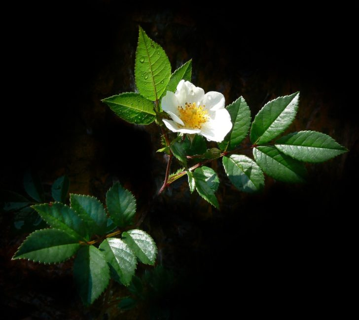 Цветок и листья шиповника